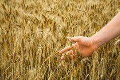 Die Hand des Mannes berührt reifen Weizen Stockbild