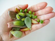 Die Hand, die eine Vielzahl von Succulents hält, verlässt bereit zur Ausbreitung lizenzfreie stockfotografie