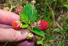 Die Hand eines Mannes wählt Erdbeeren aus Lizenzfreie Stockfotos