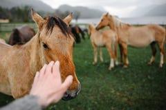 Die Handreichweiten für das Pferd Stockbild