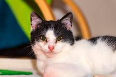 Die harte schauende Katze Stockfoto