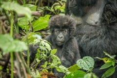 Die Hauptrolle spielen von Baby Berggorilla im Nationalpark Virunga Stockbilder