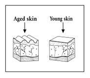 Die Haut ist alt und jung Gealterter und junger Hautskizzenentwurf Stockfotografie