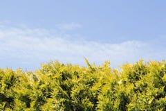 Die Hecke von Tannenbäumen lizenzfreies stockbild