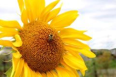 Die helle gelbe Blume der szenischen Landschaft der Sonnenblume lizenzfreie stockbilder