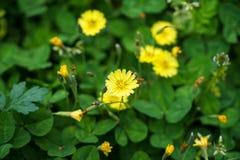 Die helle kleine Bodendeckegelbblume, die unter grünen Blättern blühen und verwelken und der unscharfe Hintergrund in Kurokawa on Stockbilder
