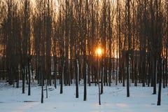 Die helle rote Sonne über Oberseiten der Pelzbäume Lizenzfreies Stockfoto