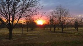 Die helle rote Sonne über Oberseiten der Pelzbäume Stockfotografie