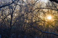 Die helle rote Sonne über Oberseiten der Pelzbäume Stockfoto