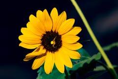 Die helle, vibrierende gelbe Sonnenblume, die durch eine gelbe Spinne in der Mitte der Blüte besetzt wurde, stellte gegen einen s stockfotos