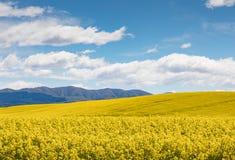 Die hellen gelben Blumen eines Canolafeldes in Neuseeland Lizenzfreie Stockfotografie