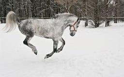 Die hellgrauen Pferdengalopps Stockfoto