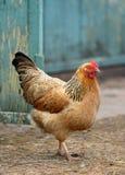 Die Henne Lizenzfreie Stockfotografie
