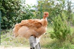 Die Henne Lizenzfreies Stockbild