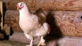 Die Henne, die am Rastplatz sitzt stock video footage