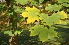 Die Herbstahornblätter Lizenzfreies Stockbild