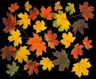 Die Herbstahornholzblätter. Lizenzfreie Stockbilder
