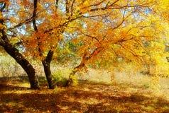 Die herbstlichen goldenen Ahornblätter Stockfoto