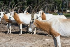 Die Herde des Gemsboks Oryx Gazella im Safari-Park Ramat Gan, Israel Stockfotografie