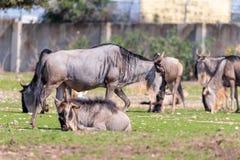 Die Herde des Gnus, Gnus auch genannt Connochaetes, der nach Lebensmittel aus den Grund sucht Stockbild