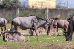 Die Herde des Gnus, Gnus auch genannt Connochaetes, der nach Lebensmittel aus den Grund sucht Lizenzfreie Stockfotos