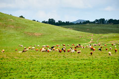 Die Herde des Viehs auf der Wiese Stockbilder