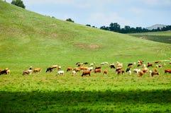 Die Herde des Viehs auf der Wiese Lizenzfreies Stockbild