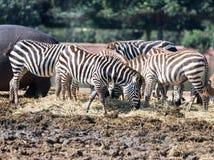 Die Herde von den Zebras, die nach Lebensmittel aus den Grund suchen Stockfotografie