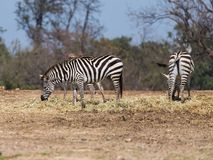 Die Herde von den Zebras, die nach Lebensmittel aus den Grund suchen Lizenzfreie Stockfotografie