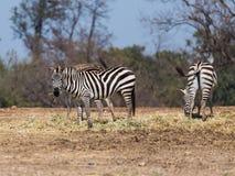 Die Herde von den Zebras, die nach Lebensmittel aus den Grund suchen Stockfotos