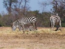 Die Herde von den Zebras, die nach Lebensmittel aus den Grund suchen Lizenzfreies Stockfoto