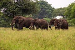 Die Herde von Elefanten auf einem Spaziergang Stockfotografie