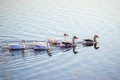 Die Herde von Gänsen schwimmen entlang das blaue Wasser des river_ lizenzfreie stockfotos