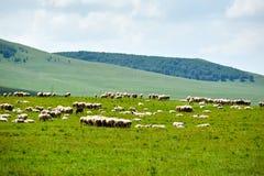 Die Herde von Schafen auf der Wiese Lizenzfreies Stockbild