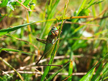 Die Heuschrecke sitzt auf einem Gras Stockbild