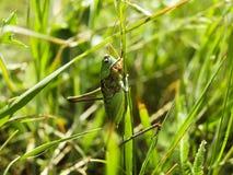 Die Heuschrecke sitzt auf einem Gras Stockfotografie