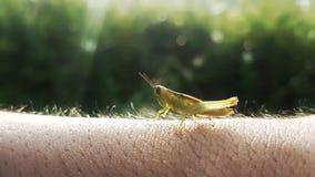 Die Heuschrecke steht auf der menschlichen Haut wie dem Gras still lizenzfreies stockbild