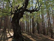 Die Hexe - alter buckliger Buchen-Baum Lizenzfreie Stockfotos