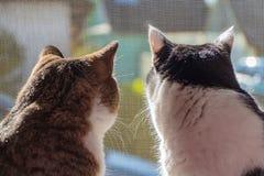 Die hintere Ansicht von zwei erwachsenen jungen Schwarzweiss Katzen und die getigerte Katze sitzen zusammen auf einem Fensterbret lizenzfreie stockbilder