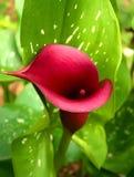 Die Hinterhofc$calla-lilie in voller Blüte lizenzfreie stockbilder