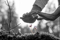 Die Hände, die einen kleinen Frühling ernähren, blühen auf einem Felsen Lizenzfreie Stockfotos