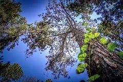 Die hohe Kiefer im Wald lizenzfreie stockfotos