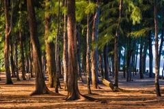 Die hohen Kiefer, die gegen Morgen stehen, sonnen Licht an einem Strand herein Stockfotos