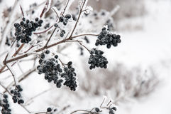 Die Holunderbeere im Schnee Stockfoto