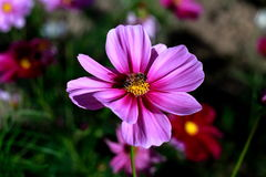 Die Honigbiene auf den schönen pinkflowers Stockfoto