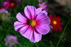 Die Honigbiene auf den schönen pinkflowers Stockbilder