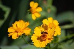 Die Honigbienen, die Blütenstaub auf einem Gebiet des Blühens sammeln, blüht Stockfoto