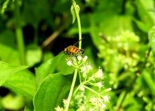Die Honigjägerbiene auf Blumen lizenzfreies stockfoto