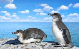 Die Humboldt-Pinguine lizenzfreie stockbilder