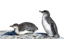Die Humboldt-Pinguine lizenzfreie stockfotografie